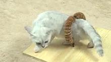 【罐头视频】DIY猫咪梳毛器