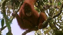【狂野动物王国】老虎猎食开小差 爱吃榴莲的苏门达猩猩逃过一劫