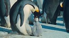 【狂野动物王国】企鹅宝宝打瞌睡 超温馨的一家团聚了