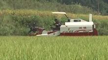 泸溪:收割机助农收水稻