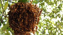 捅马蜂窝遭毒蜂狂蛰200针 高中生险丧命