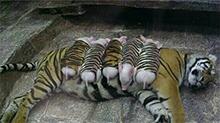 母老虎丧子伤心过度 猪崽虎仔分不清