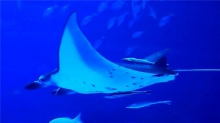 童趣大冒险20160103期:探秘海洋巨怪魔鬼鱼