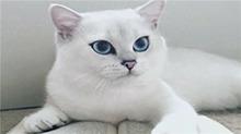"""英国短毛猫成新晋网红 被赞""""世界最美猫咪"""""""
