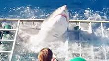 疯狂大白鲨攻击防鲨笼 潜水员幸运脱险