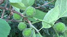【一点植物学】构树