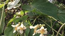 【一点植物学】长面条的梓树