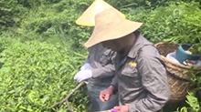 新化:喷火为茶树灭虫
