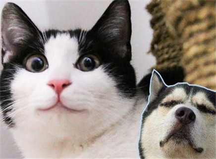 领养了只像哈士奇的猫!