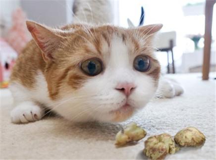 给猫咪尝下虫瘿果